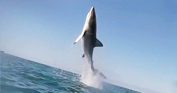 Λευκός καρχαρίας εκτινάσσεται 2,5 μετρά έξω από το νερό – Εντυπωσιακό βίντεο από εξερευνητές