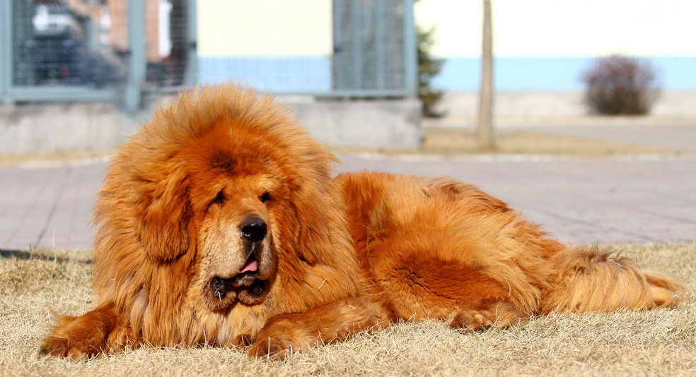 Big-Tibetan-Mastiff-Dog-Lying-Down-Green-Lawn