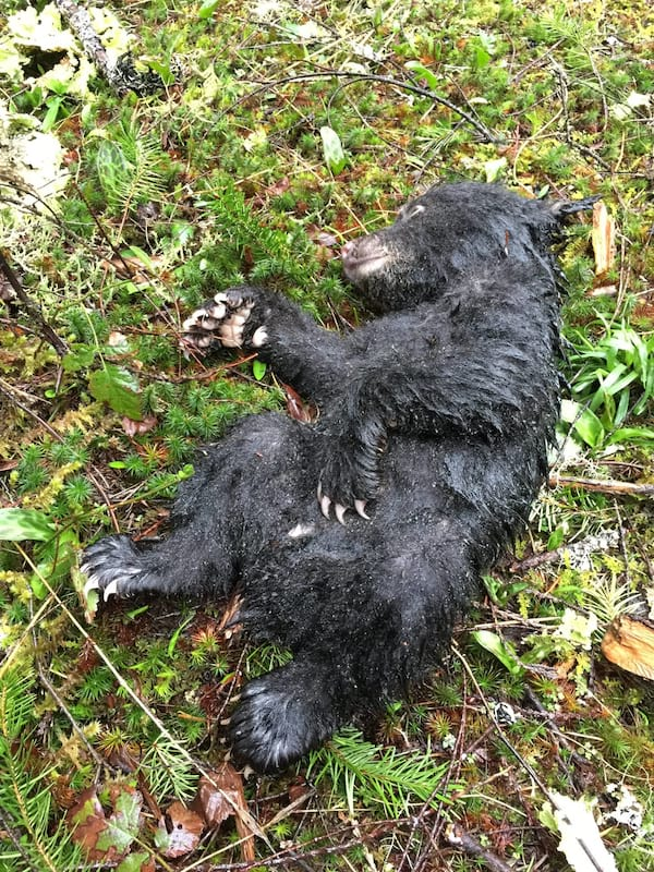 διάσωση ζώων διάσωση αρκούδα