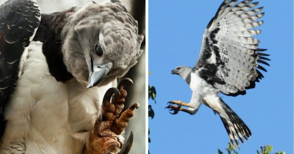 Η αγέρωχη άρπυια, ένας από τους ισχυρότερους αετούς στον κόσμο