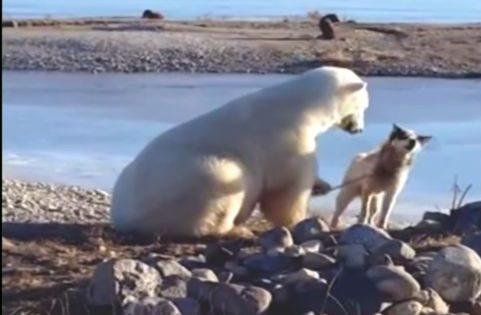 Τι συνέβη όταν μια πολική αρκούδα συνάντησε έναν δεμένο σκύλο που έσερνε έλκυθρα. Μια εκπληκτική αντίδραση που συγκίνησε το διαδίκτυο και η πραγματική ιστορία πίσω από αυτό (βίντεο).