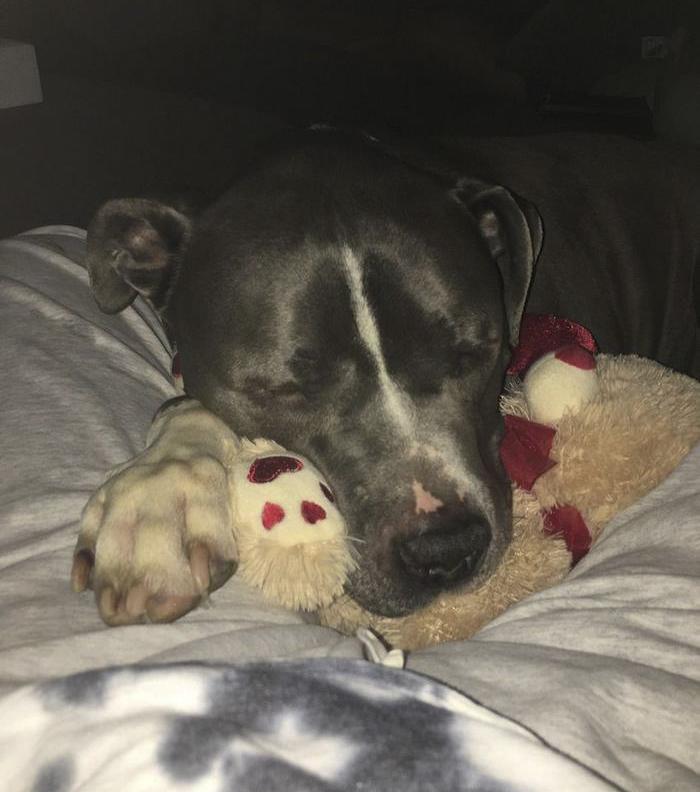 Σκύλος σκύλοι πίτμπουλ καταρρέει Pitbull
