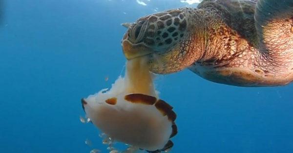 Θαλάσσια χελώνα καταβροχθίζει μία μέδουσα σαν να ρουφάει μακαρόνια