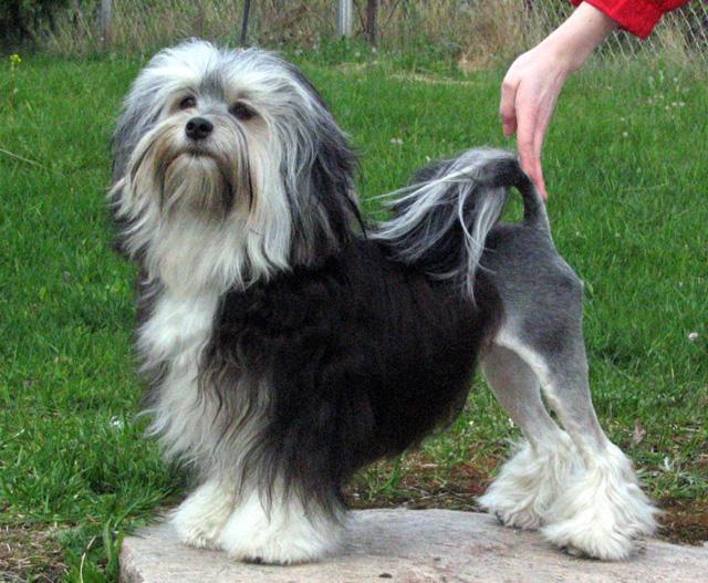 σκύλοι ράτσες οι ακριβότερες ράτσες σκύλων