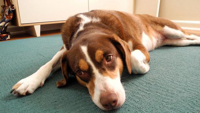στρες Σκύλος σκύλοι άγχος