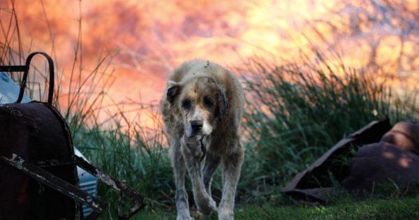Η συγκλονιστική φωτογραφία ενός σκύλου με εγκαύματα στο Μικροχώρι Αττικής, σήμερα
