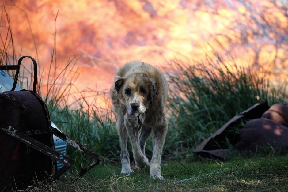 φωτιές 2017 σκύλος με εγκαύματα Σκύλος πυρκαγιά εγκαύματα