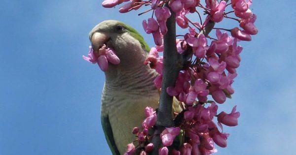 Το φαινόμενο των πράσινων παπαγάλων στη Θεσσαλονίκη