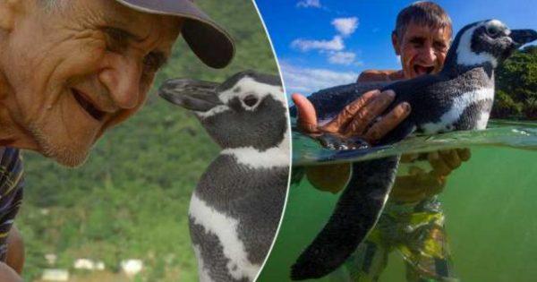 Πιγκουΐνος κολυμπάει κάθε χρόνο 5.000 μίλια για να συναντήσει τον ηλικιωμένο άνθρωπο που τον έσωσε από βέβαιο θάνατο