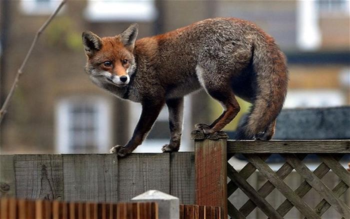 Αλεπούδες αλεπού φωτογραφίες αλεπού κατοικίδιο αλεπού