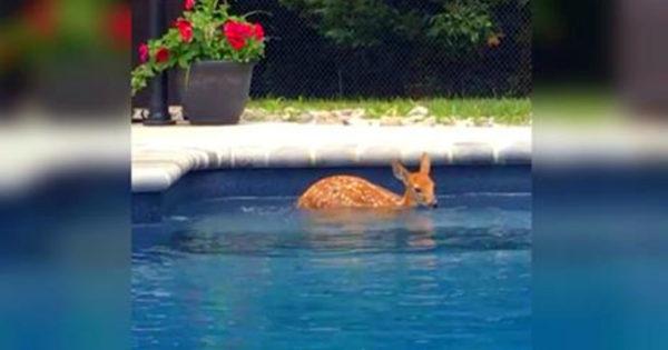 Κάθε μέρα αυτό το μικρό ελαφάκι πηδάει τον φράχτη του σπιτιού και βουτάει στην πισίνα για να δροσιστεί!