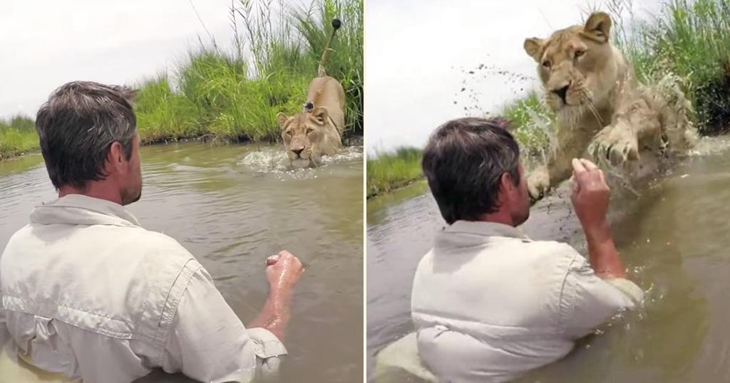 Λιονταρίνα λιοντάρι
