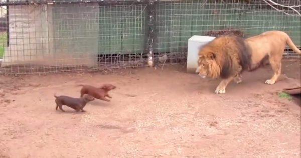 Άφησαν 2 κουτάβια μέσα στο κλουβί με το λιοντάρι. Δείτε την αντίδραση του λιονταριού που έγινε παγκόσμιο viral!