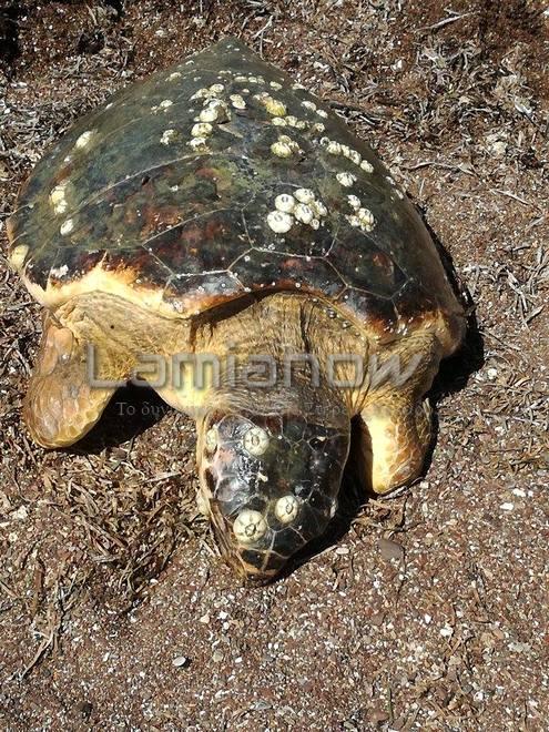 πελώρια χελώνα