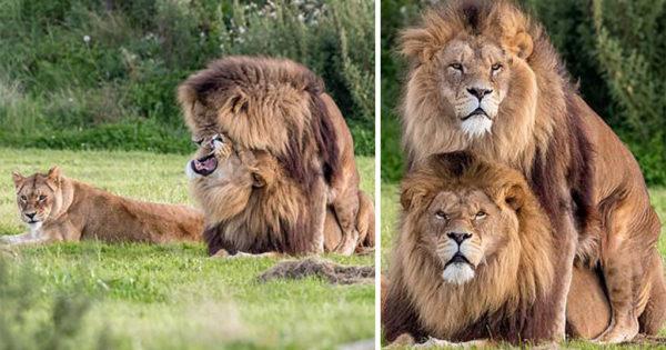 Δύο αρσενικά λιοντάρια προσπαθούν να ζευγαρώσουν καθώς η λιονταρίνα τα κοιτά απορημένη