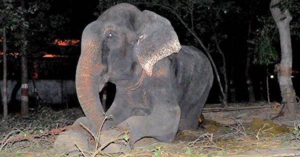 Βρήκαν έναν αλυσοδεμένο ελέφαντα να κλαίει με λυγμούς. Δείτε πως μεταμορφώθηκε μέσα σε μόλις έναν χρόνο!