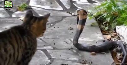 Μια συλλογή από ατρόμητες γάτες, που αντιμετωπίζουν αράχνες, αλιγάτορες και φίδια και άλλα άγρια ζώα.