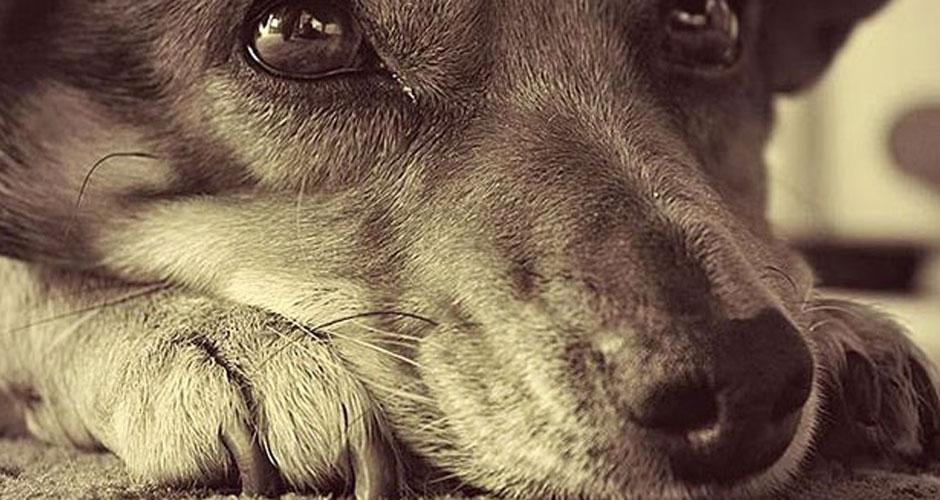 σκύλος επιληψία σκύλος ασθένειες Σκύλος σκύλοι επιληψία επιληψία στους σκύλος επιληψία