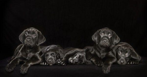 Μαύρα σκυλιά σαν ζάχαρη