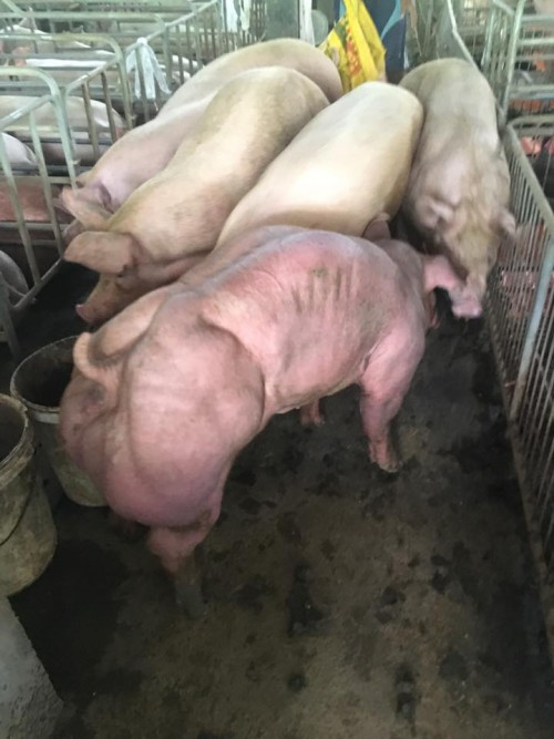 χοιρινό κρέας μεταλλαγμένα γουρούνια μεταλλαγμένα Γουρούνια