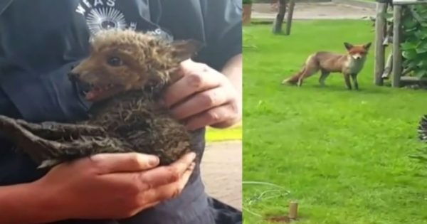 Αλεπού περίμενε τους διασώστες να απεγκλωβίσουν το μωρό της από σωλήνα (ΒΙΝΤΕΟ)
