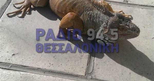 """Το ιγκουάνα το """"σκασε και κόβει βόλτες στη Θεσσαλονίκη (εικόνες)"""