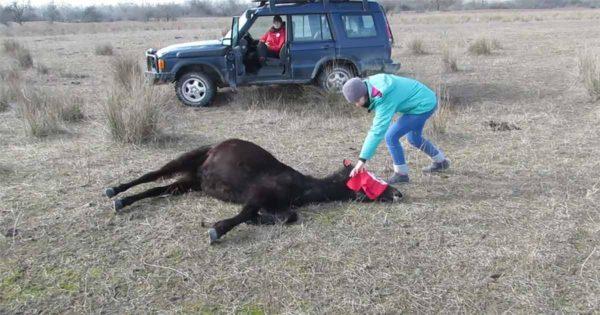 Κτηνίατρος απελευθερώνει ένα χρόνια αλυσοδεμένο άγριο άλογο και παίρνει το καλύτερο «ευχαριστώ» της ζωής του