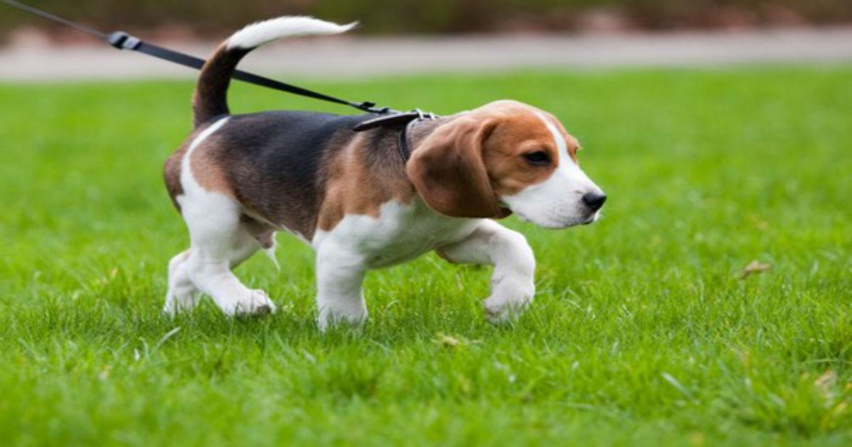 Σκύλος σκύλοι βόλτα σκύλου βόλτα