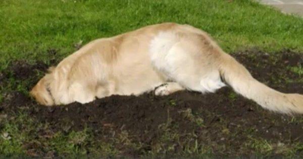 Το Λαμπραντόρ άρχισε ξαφνικά να σκάβει στην αυλή. Μόλις το αφεντικό του είδε ΤΙ έβγαλε από το χώμα, έπαθε το σοκ της ζωής του!