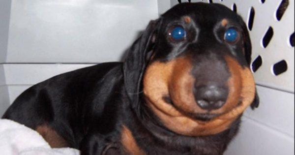 13 Πρησμένα σκυλάκια που έμαθαν με τον χειρότερο τρόπο ότι δεν πρέπει να τα βάζουν με τις μέλισσες
