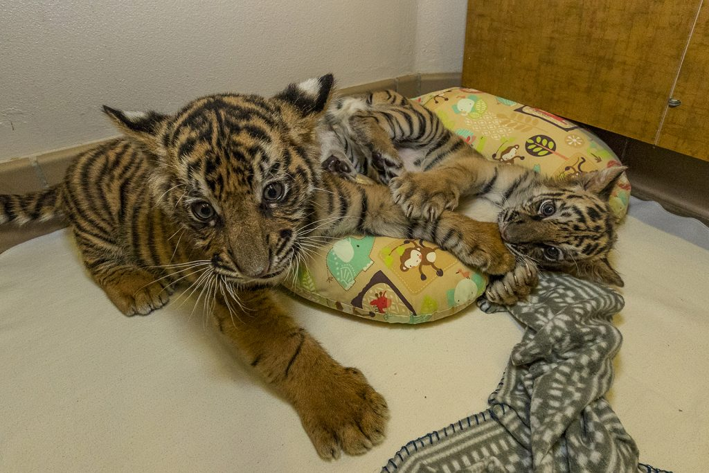 Τίγρης τιγράκι