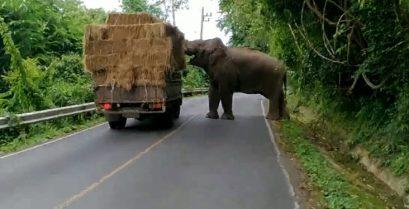 Ένας ελέφαντας κλέβει μια μπάλα σανού από διερχόμενο φορτηγό