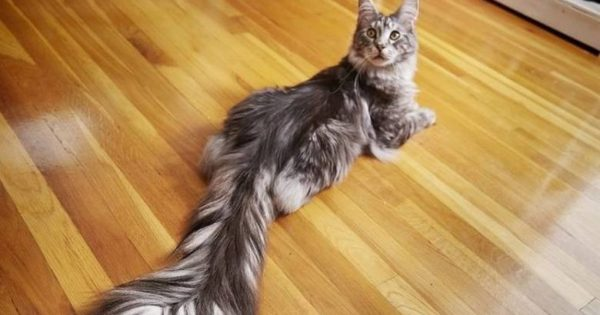 Cygnus: Η γάτα με την πιο «αφράτη» και μακριά ουρά (Pic+Vid)