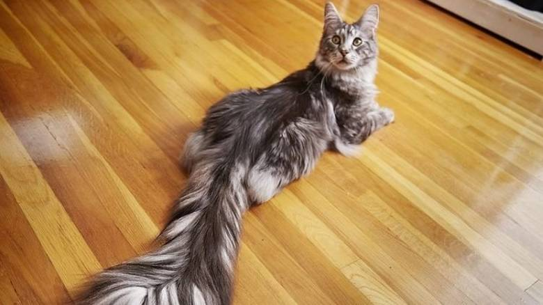 cygnus-longest-tail-750x563