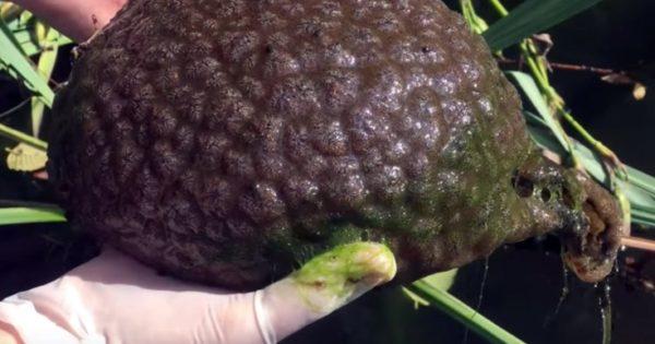 Ένα σχεδόν εξωγήινο πλάσμα στη Γη: Αυτό το πράγμα που βρέθηκε σε λίμνη είναι στην πραγματικότητα ζωντανό!