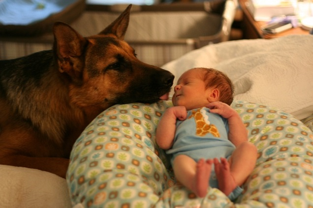 υιοθεσία Σκύλος ράτσα ποιμενικός μην υιοθετήσεις γερμανικός ποιμενικός γερμανικός