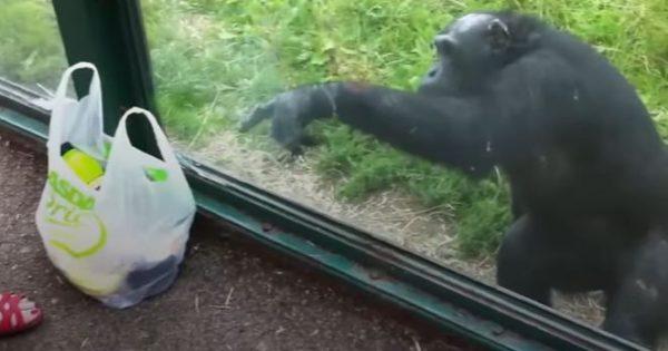 Αυτός ο χιμπατζής ήξερε πολύ καλά τι ήθελε από τη σακούλα!