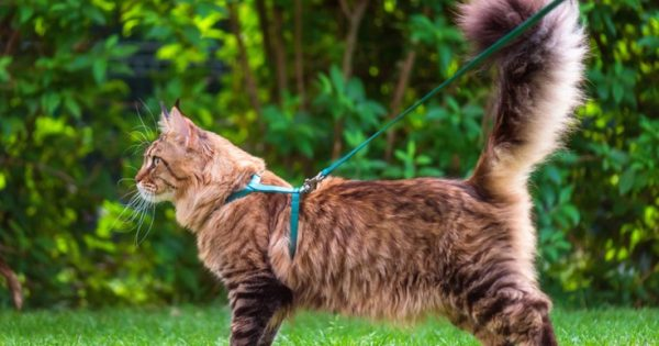Όσα πρέπει να ξέρετε για το λουρί στη γάτα