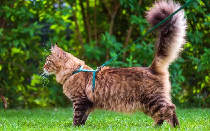 λουρί στη γάτα λουρί Γάτα