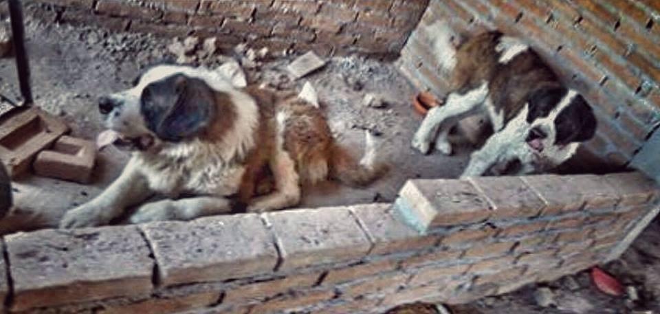 Μεξικό διάσωση σκύλων