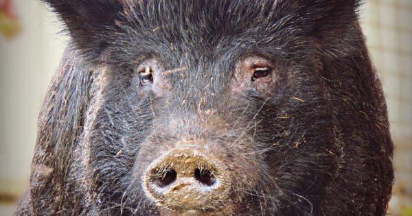 Γουρούνι που πέρασε 12 χρόνια κλεισμένο σε μικροσκοπικό χώρο βρίσκει επιτέλους κάποιον να το αγαπήσει