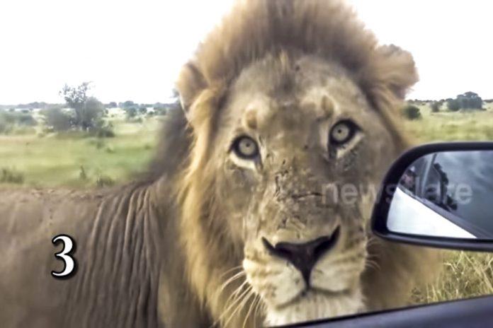 λιοντάρια βίντεο λιοντάρια λιοντάρι