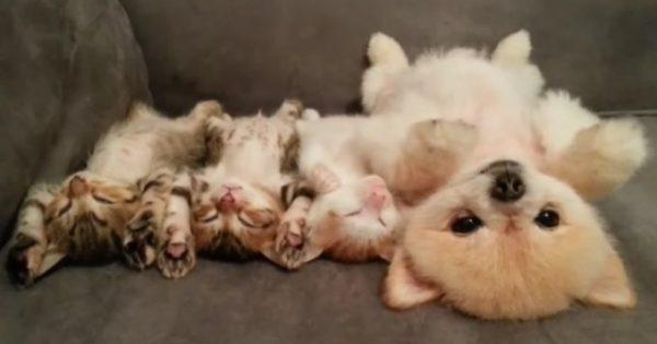 Δείτε ένα χνουδωτό σκυλάκι και τους φίλους του τα γατάκια να κοιμούνται στη ίδια ακριβώς στάση!