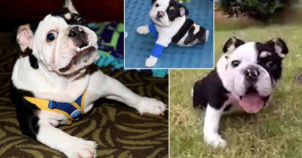 Ο Μπονσάι, το σκυλάκι με τα δύο πόδια κερδίζει καρδιές σε όλο τον κόσμο!