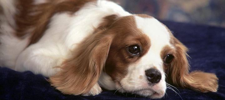σκυλιά ασθένειες ασθένειες σκυλιών