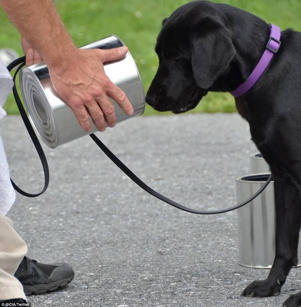σκύλος cia Σκύλος σκύλοι