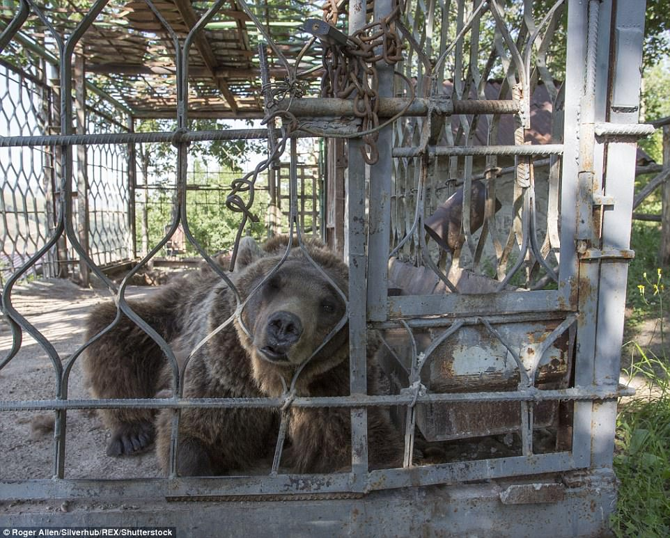 κακοποίηση ζώων αρμενία αρκούδες