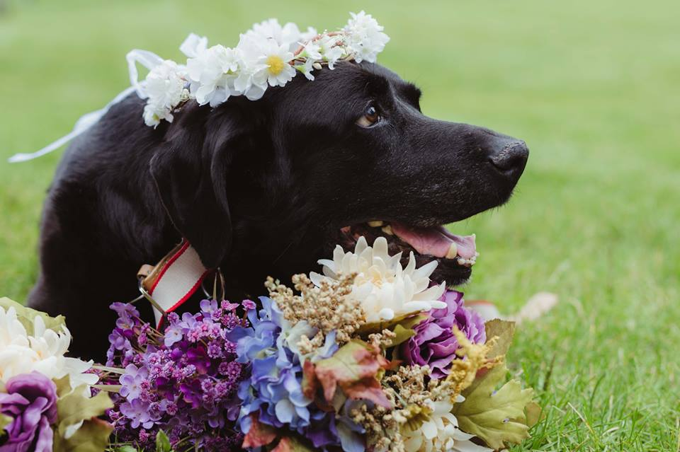 Σκύλος σκύλοι Λαμπραντόρ ετοιμοθάνατο λαμπραντόρ
