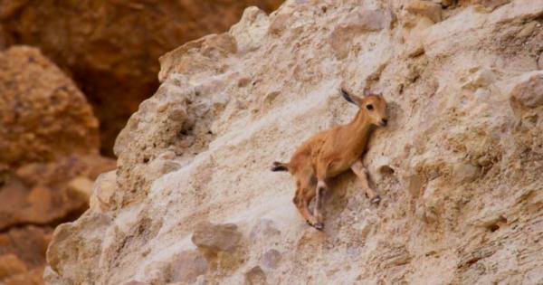 Μωρό αγριοκάτσικο κάνει άλμα 10 μέτρων για να γλυτώσει από μια αλεπού