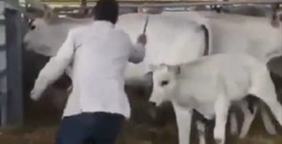 Η αντεπίθεση της αγελάδας